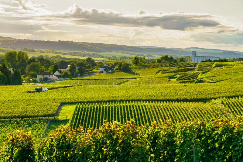 Row vine grape in champagne vineyards at montagne de reims countryside village background stock photography