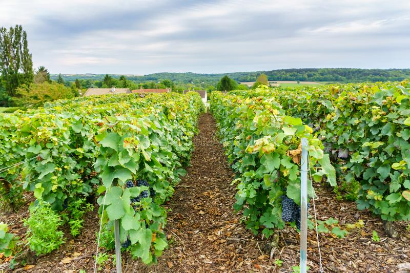 Row vine grape in champagne vineyards at montagne de reims countryside village background stock photo