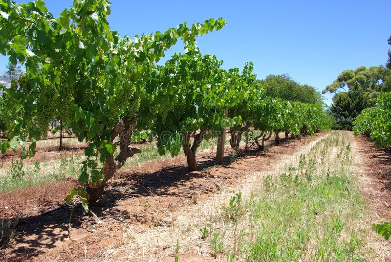 Download Row of Vines stock photo. Image of grapes, soil, tourism - 6052770