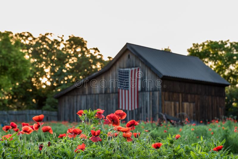 Row of vivid read poppies with barn in the background. With shallow depth of field and us flag on the barn royalty free stock images