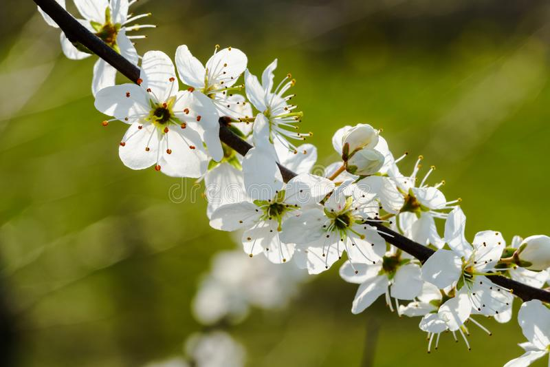 Row of white cherry blossoms on a twig, lit by sunlight - copy space. White cherry blossoms on a twig, sunlight shining through the petals close-up, diagonal royalty free stock photography