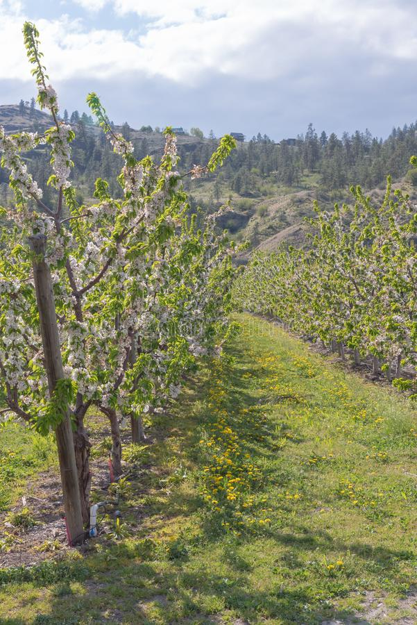 Row of white flowering orchard trees in spring stock photo