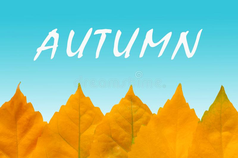 Row of the yellow autumn leaves. Closeup view of a row of the yellow autumn leaves a background of blue gradient backdrop with the inscription `Autumn` copy vector illustration