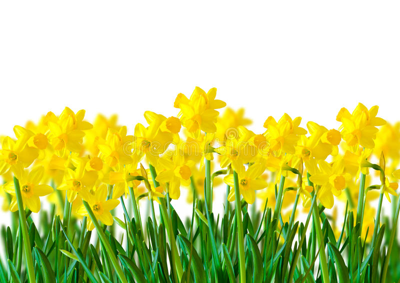 A row of Yellow Daffodils royalty free stock photography