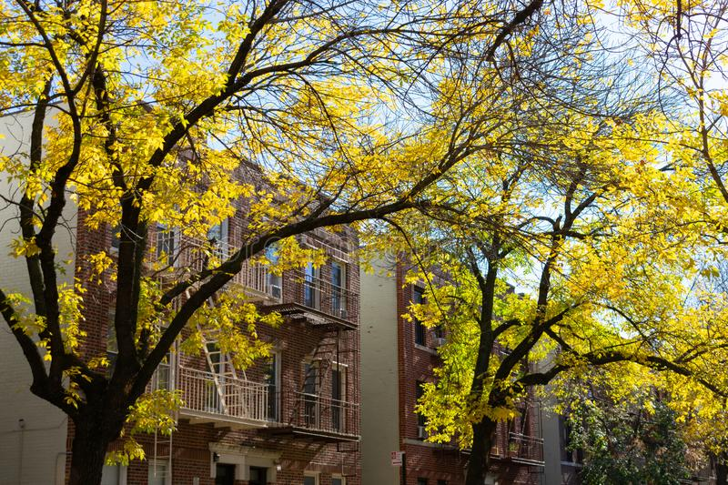 Row of Yellow Leaf Trees and Old Residential Buildings in Astoria Queens New York during Autumn. Yellow leaf trees in front of a row of old brick residential royalty free stock image