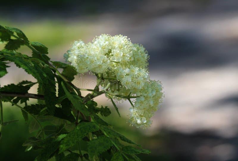 Rowan ή λουλούδι τέφρας βουνών (aucuparia Sorbus), που ανθίζει την άνοιξη στοκ φωτογραφία με δικαίωμα ελεύθερης χρήσης