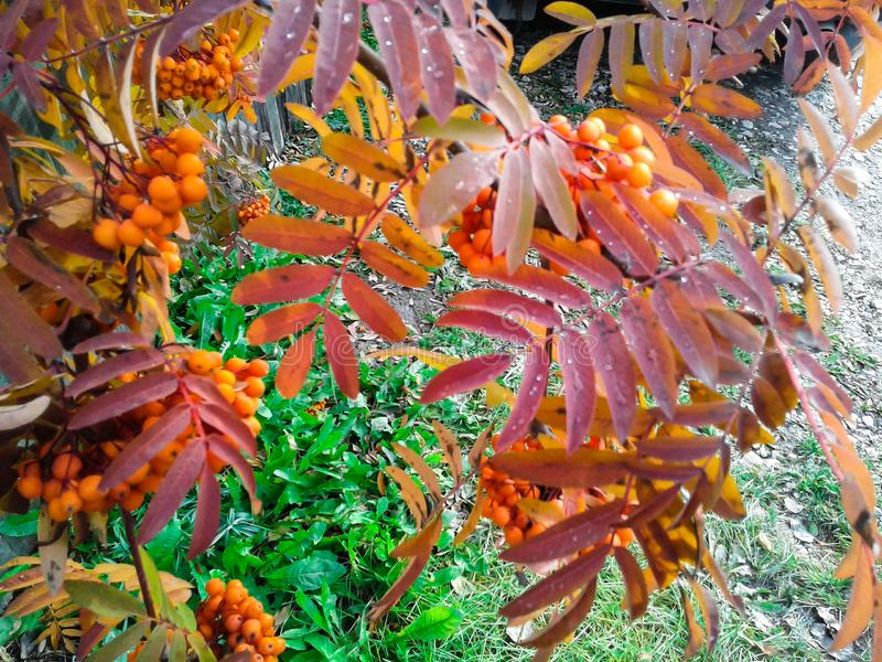 Rowan το φθινόπωρο στη Σιβηρία στοκ εικόνες με δικαίωμα ελεύθερης χρήσης