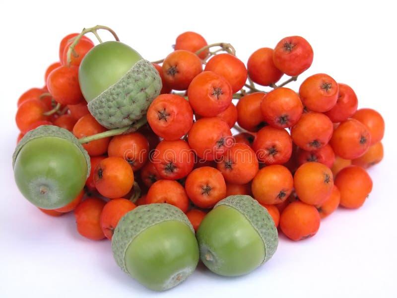 Rowan and acorns royalty free stock photos