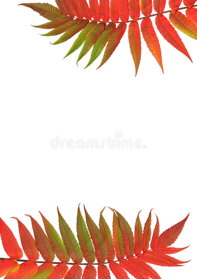 Free Rowan Ash Leaves Stock Images - 4553084
