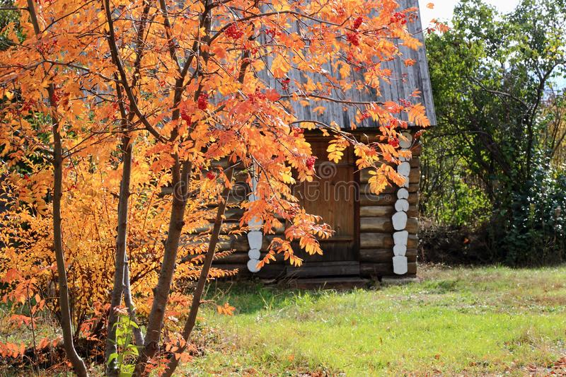 A tree of autumn rowan in the background of a log cabin in a village. royalty free stock image