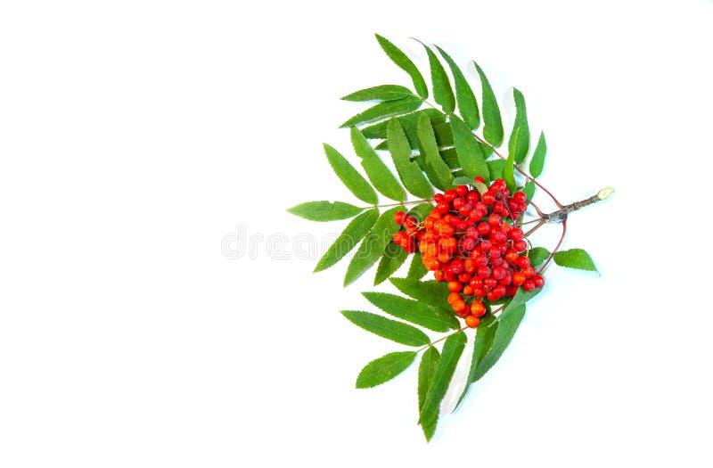 Rowan Beeren auf grünen Blättern von Rowan stockfoto