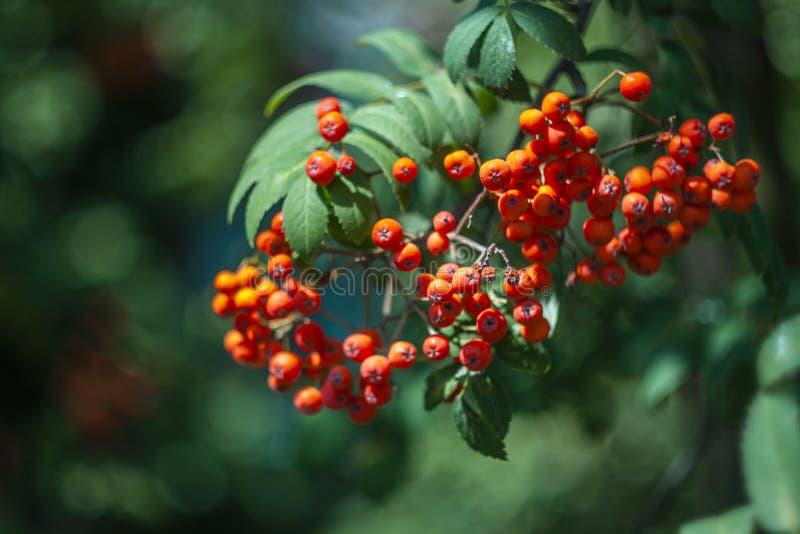 Rowan Berries imágenes de archivo libres de regalías