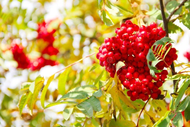 Rowan Berries stockfotografie