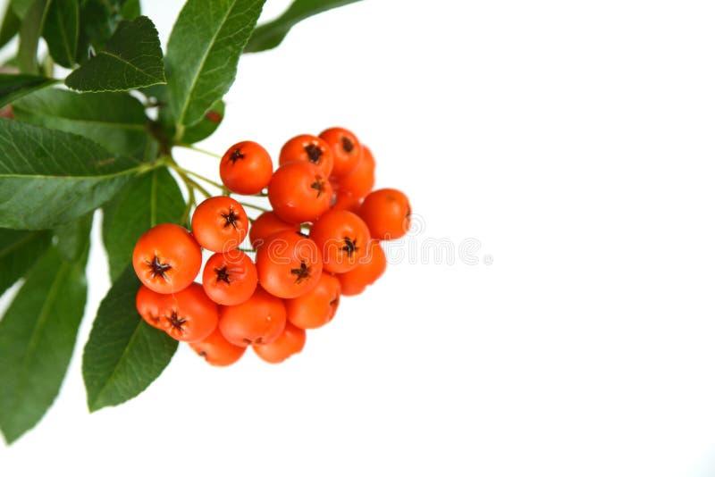 Rowan berries. Branch of rowan berries with leaves stock image