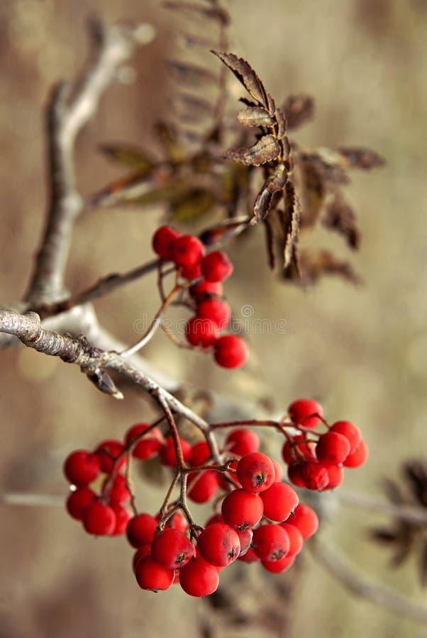 Rowan berries stock images