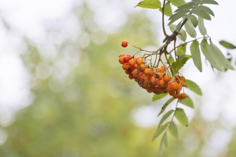 Download Rowan Berries photo stock. Image du normal, vitamine - 45355240