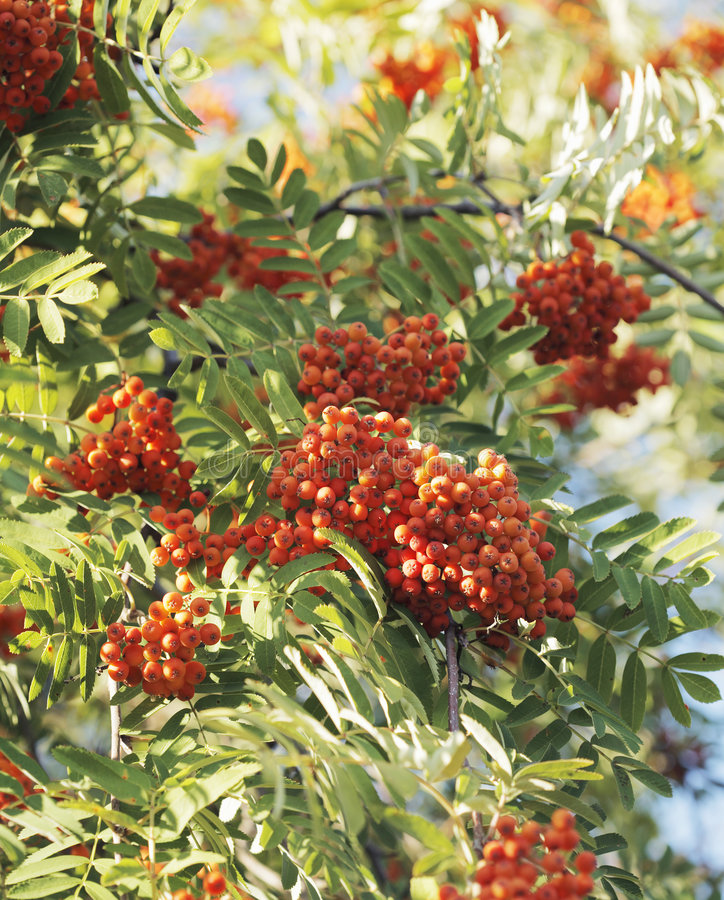Download Rowan berries stock image. Image of branch, tree, outdoors - 7412237
