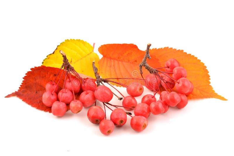 Rowan Berries photos libres de droits