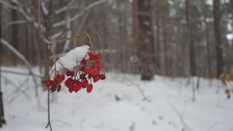 Rowan berries on a branch royalty free stock image