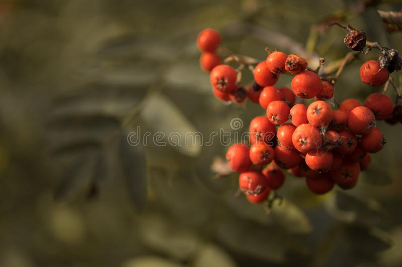 rowan berries close-up green leaves bokeh background outdoor royalty free stock photos