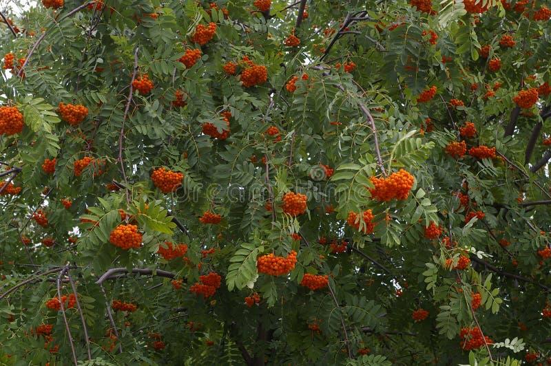 Rowan berries royalty free stock image