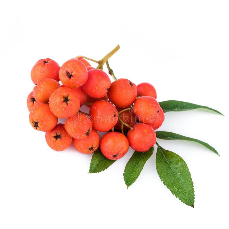 Rowan berries. Closeup. Rowan berries with leaves on white background. Closeup stock photography