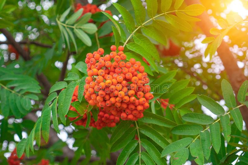 Rowan berries growing on a tree branch, close-up. Medicinal berries of mountain-ash in summer. Red rowan berries on the rowan tree royalty free stock photography