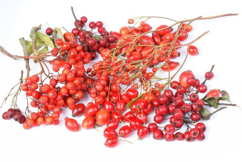 Rowan berries, hawthorn, rose hip royalty free stock images