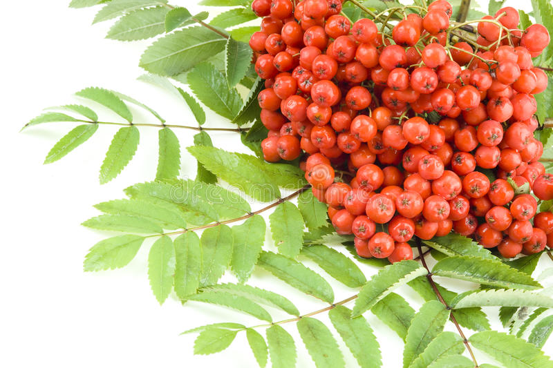 Rowan berries isolated stock images