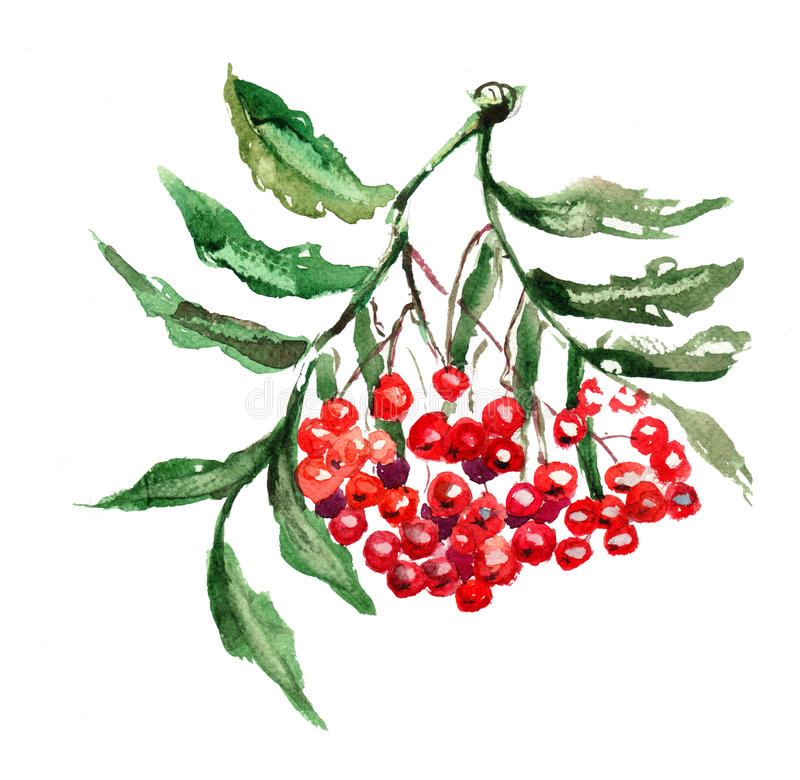 Rowan berries with leaves royalty free illustration