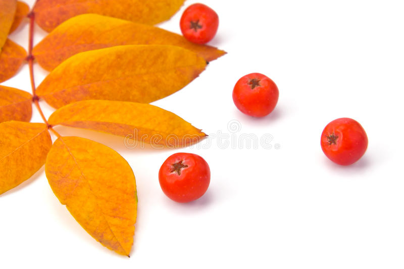 Rowan berries and leaves. Berries rowan and autumn leaves on a white background stock images