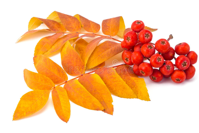 Rowan berries and leaves. Berries rowan and autumn leaves on a white background royalty free stock photos
