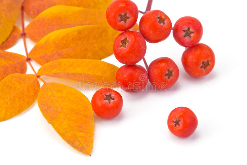Rowan berries and leaves. Berries rowan and autumn leaves on a white background royalty free stock photo