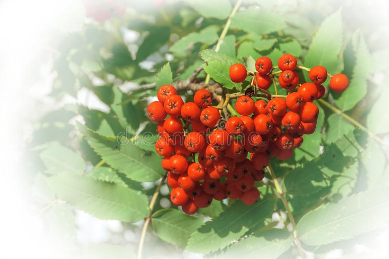 Rowan berries with leaves in natural conditions with white framing.  stock photography