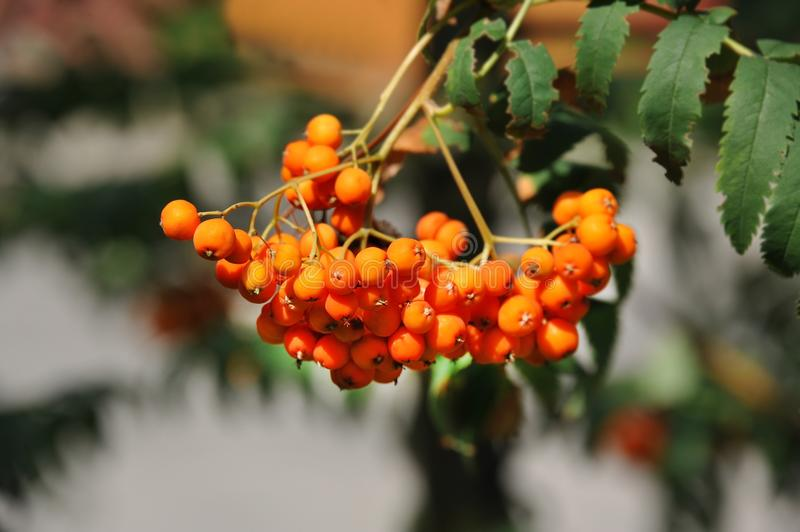 Rowan berries, Mountain ash Sorbus. Tree with ripe berry stock photo