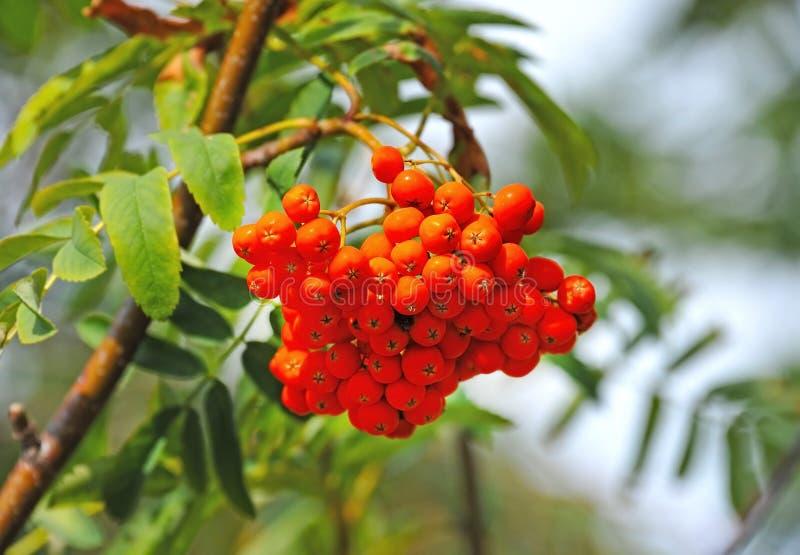 Rowan berries, Mountain ash Sorbus. Tree with ripe berry stock photography