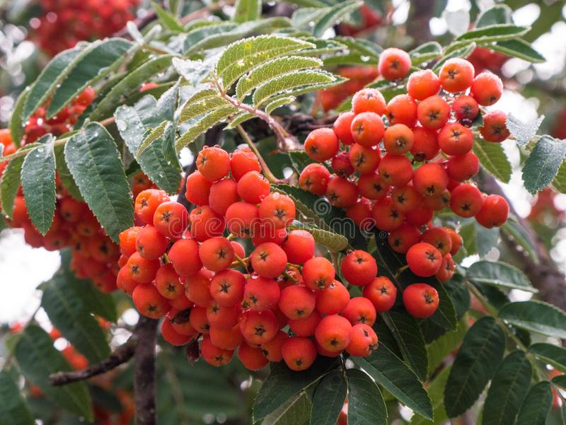Rowan berries, Mountain ash Sorbus tree with ripe berry. The Rowan berries, Mountain ash Sorbus tree with ripe berry stock images