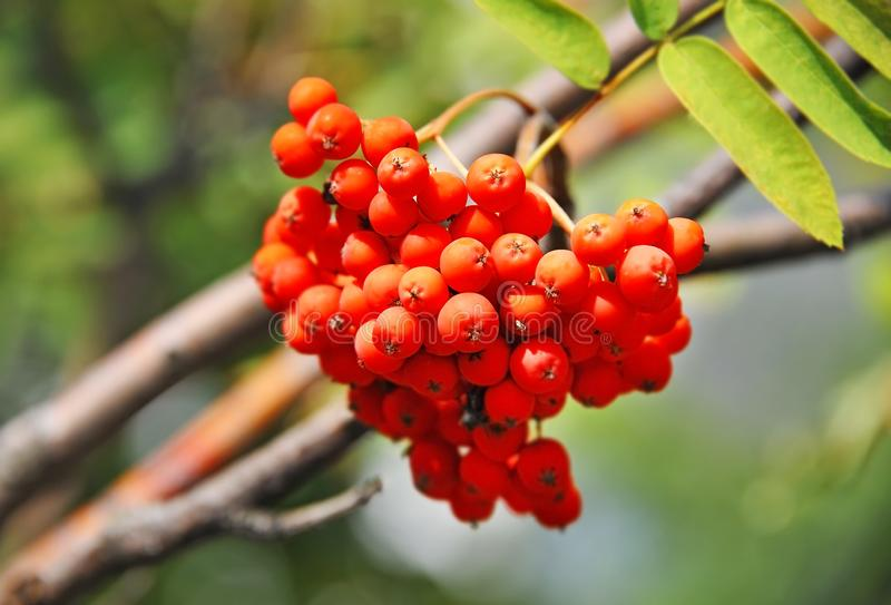 Rowan berries, Mountain ash Sorbus. Tree with ripe berry stock image