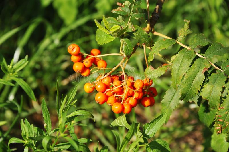 Rowan berries, Mountain ash Sorbus. Tree with ripe berry stock photography