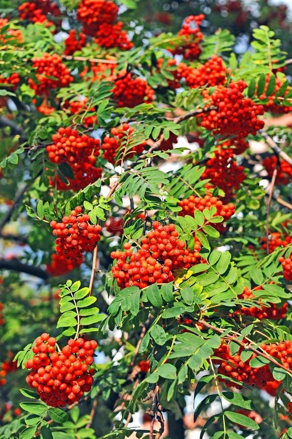 Rowan berries, Mountain ash (Sorbus). Tree with ripe berry royalty free stock photo