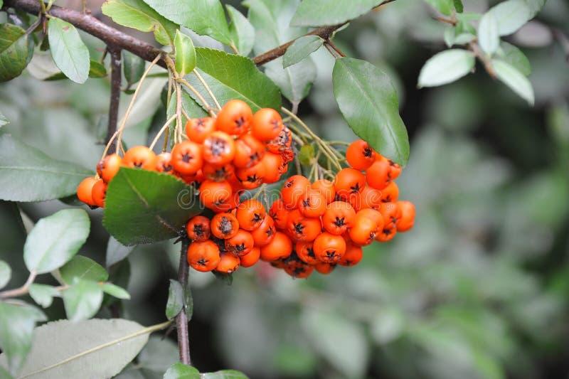 Rowan berries, Mountain ash Sorbus. Tree with ripe berry royalty free stock photo
