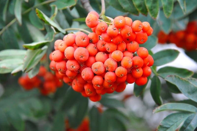 Rowan berries, Mountain ash Sorbus. Tree with ripe berry stock photo