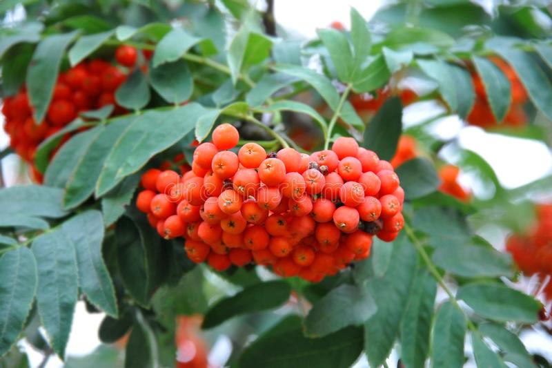 Rowan berries, Mountain ash Sorbus. Tree with ripe berry stock images