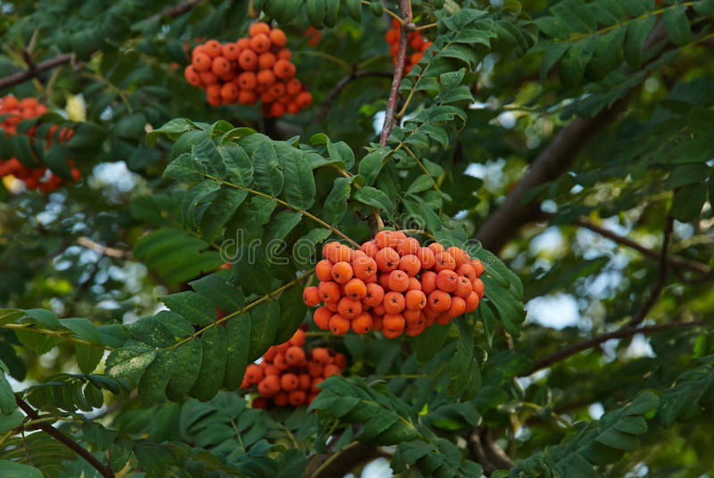 Rowan berries. Mountain ash tree with ripe berry royalty free stock image