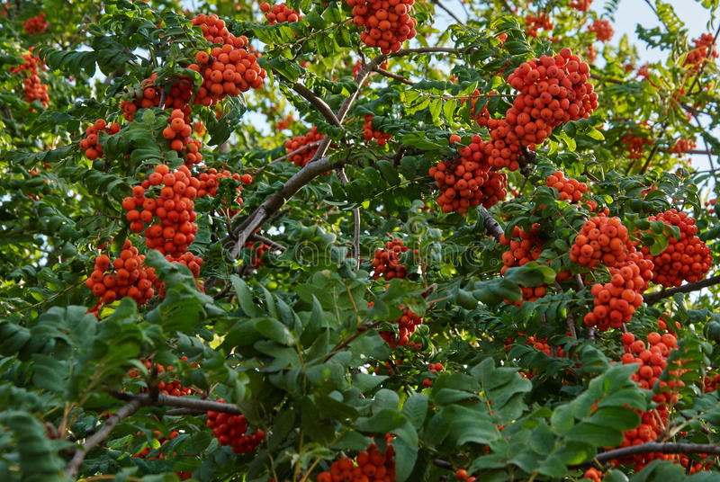 Rowan berries. Mountain ash tree with ripe berry royalty free stock photos