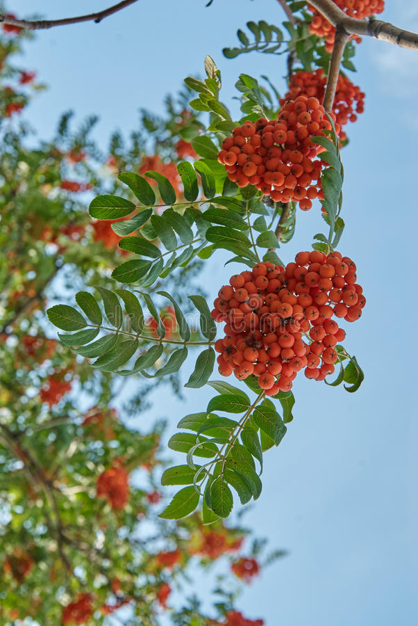 Rowan berries. Mountain ash tree with ripe berry stock photography