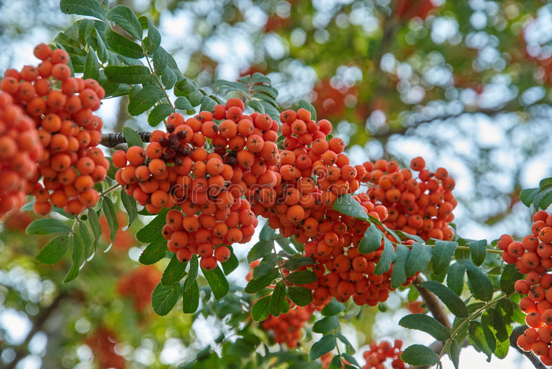 Rowan berries. Mountain ash tree with ripe berry royalty free stock photo