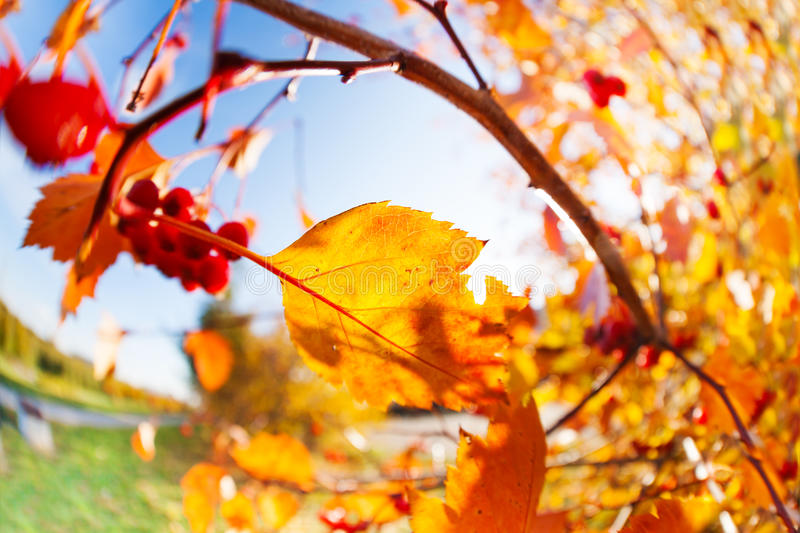 Rowan and berries over sunny autumn October sky royalty free stock photography