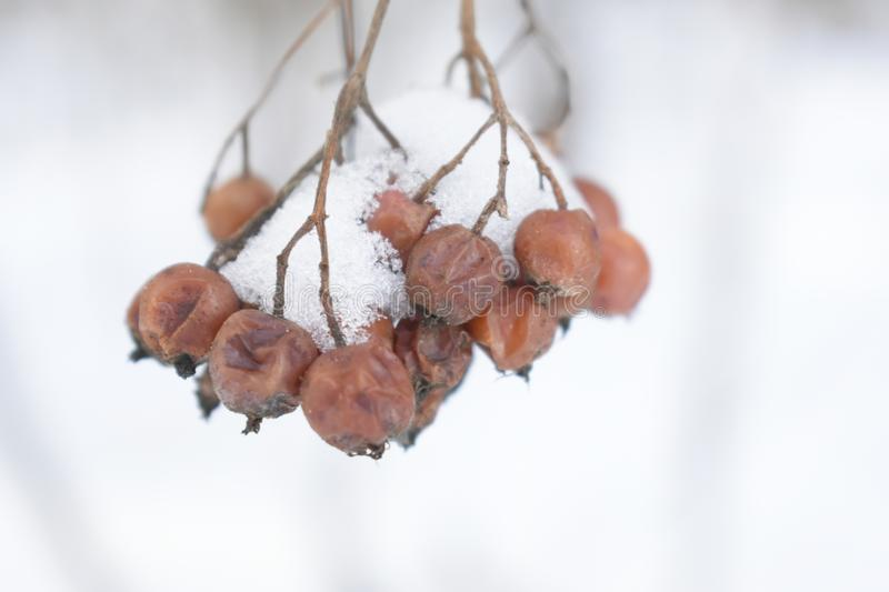 Rowan berries in the snow. Winter forest landscape. Red berries in the cold stock photos