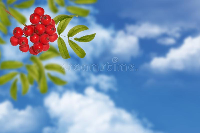 Rowan berries, Sorbus aucuparia, tree mountain ash. Autumn landscape with bright colorful foliage. Indian summer. blue sky stock photo